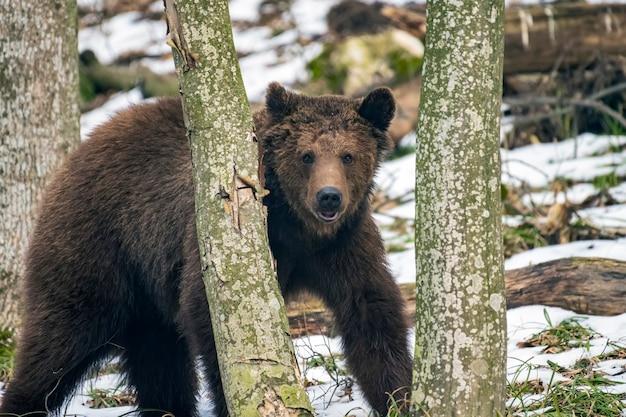 Braunbär im winterwald