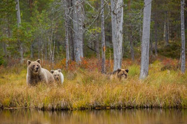 Braunbär in kuusamo, lappland, nordfinnland