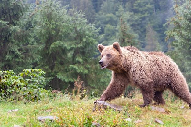 Braunbär (lateinisch ursus arctos) im wald vor dem hintergrund der tierwelt.