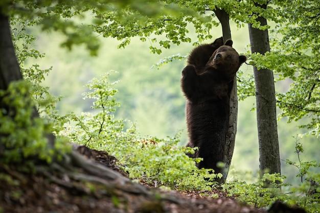 Braunbär steht auf hinterbeinen und kratzt sich am rücken an einem baum