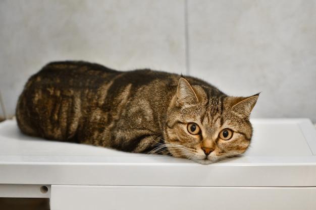 Braune hauskatze liegt auf dem tisch, katze schaut in die kamera