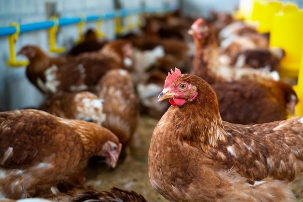 Braune hühner auf dem bauernhof
