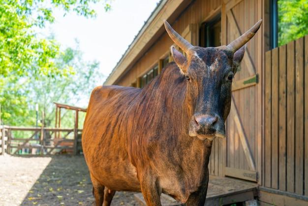 Braune kuh auf einem bauernhof.