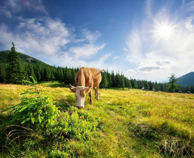 Braune kuh auf grüner weide zwischen bergen