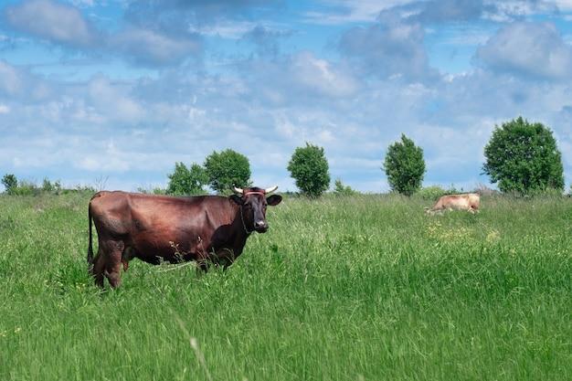Braune kuh, die auf dem grünen wald im sonnigen sommertag weidet