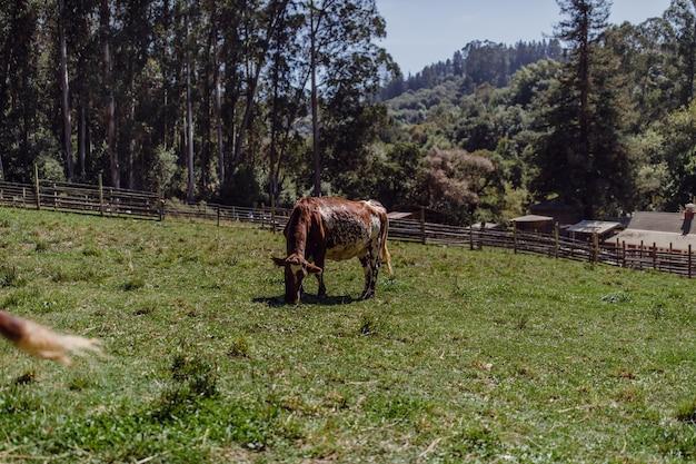 Braune kuh, die gräser isst
