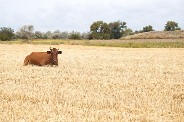 Braune kuh, die in einem gelben feld weidet