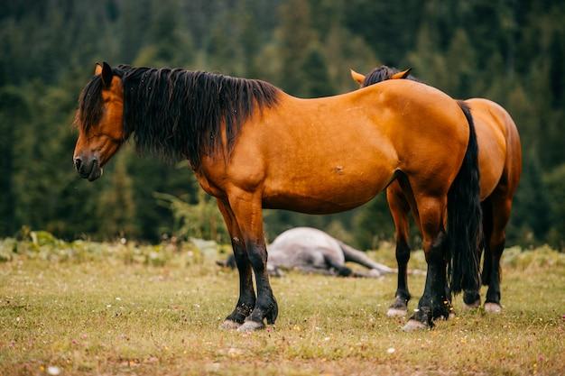 Braune pferde, die auf dem feld weiden.