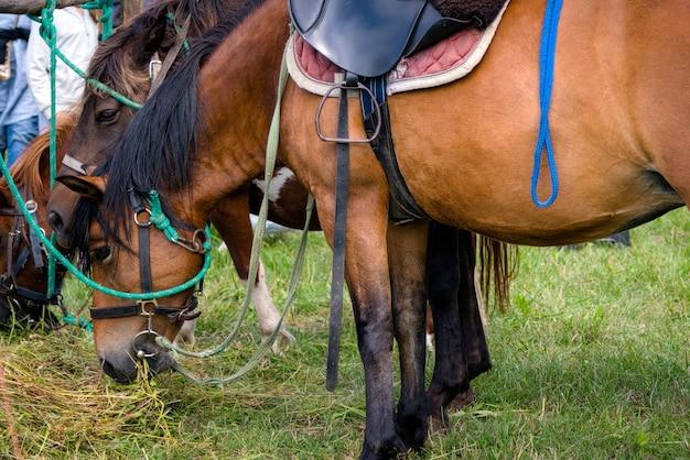 Braune pferde, die gras essen. nahaufnahme des kopfes des pferdes, das gras isst