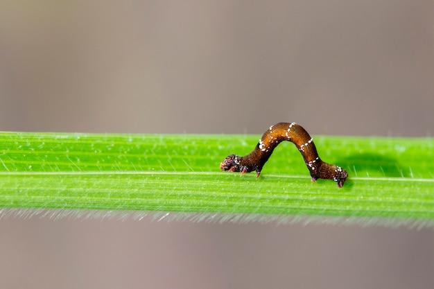 Braune raupe auf einem grünen blatt