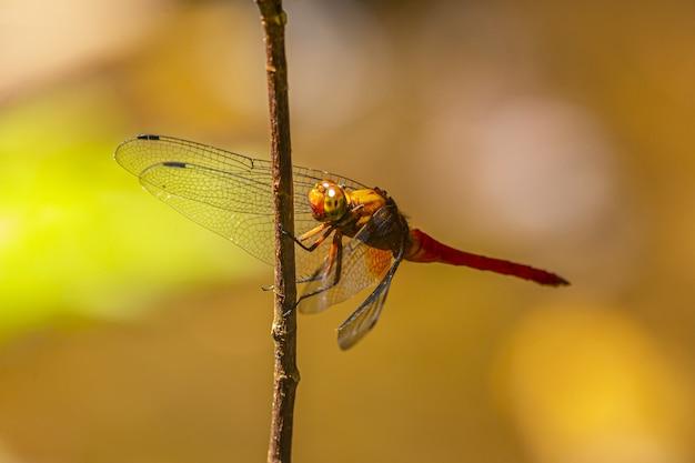 Braune und schwarze libelle thront auf braunem stiel