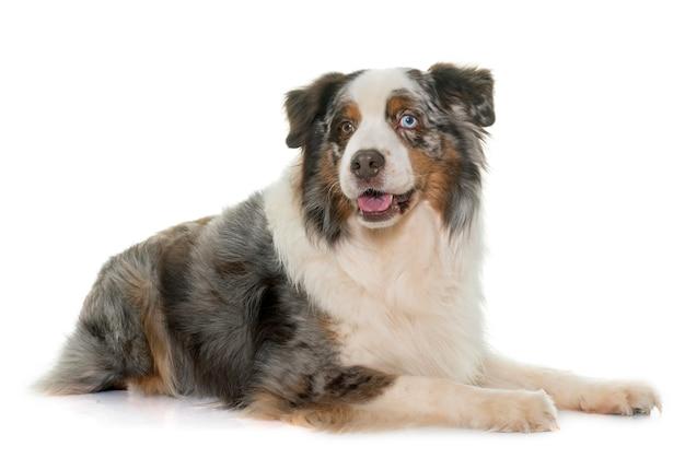 Brauner australischer schäferhund