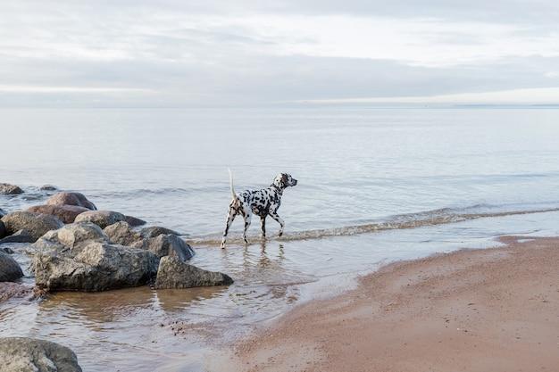 Brauner dalmatinischer welpe am strand. glücklicher dalmatinischer hund, der am strand spielt. der dalmatiner ist eine rasse des großen hundes, der am strand geht, wasserspritzer. wolkiges wetter