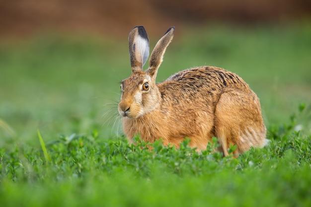 Brauner hase, der auf gras in der frühlingsnatur schaut.