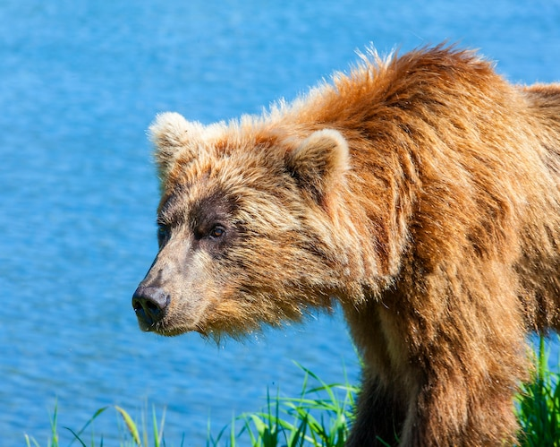 Brauner kamtschatka-bär