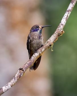 Brauner kolibri, der auf einem horizontalen zweig aufwirft