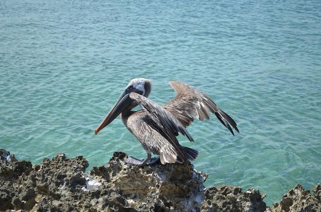 Brauner pelikan mit teilweise ausgefahrenen flügeln