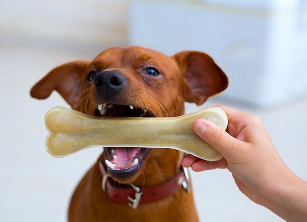 Brauner pinscherhund, der mit knochen spielt