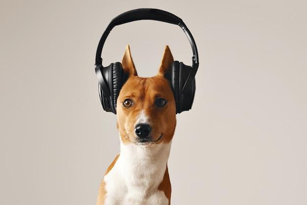 Brauner und weißer basenji-hund mit weit geöffneten augen, die großes schwarzes drahtloses headset tragen, nahaufnahme schuss lokalisiert auf weiß