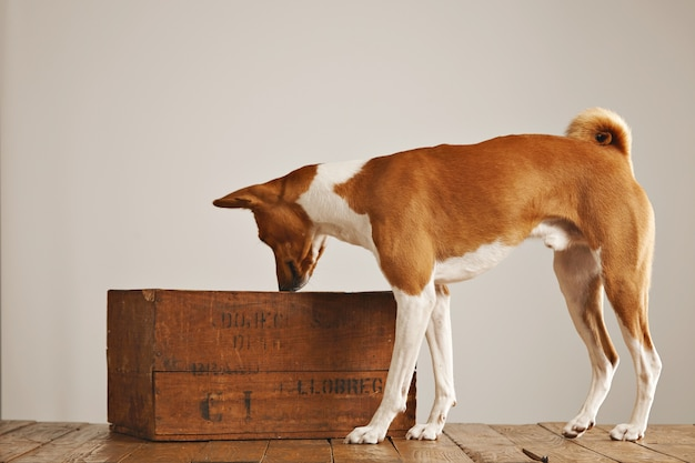 Brauner und weißer basenji hund schnüffelt luft und schaut in eine vintage braune weinkiste in einem studio mit weißen wänden