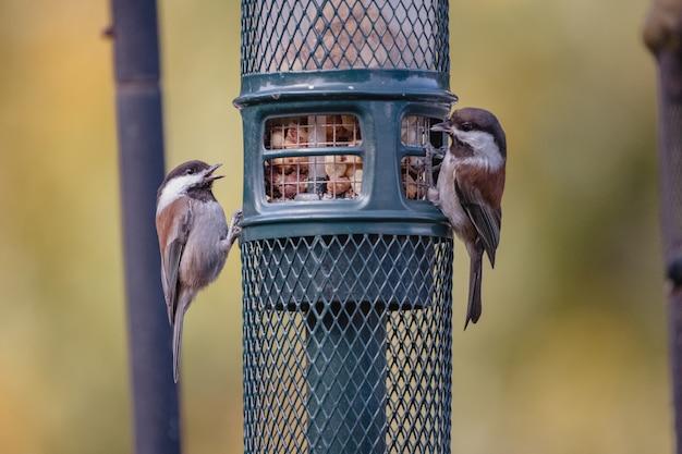Brauner und weißer vogel auf schwarzem käfig