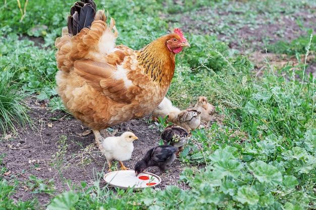 Braunes huhn mit hühnern, die nahrung im garten und im trinkwasser suchen