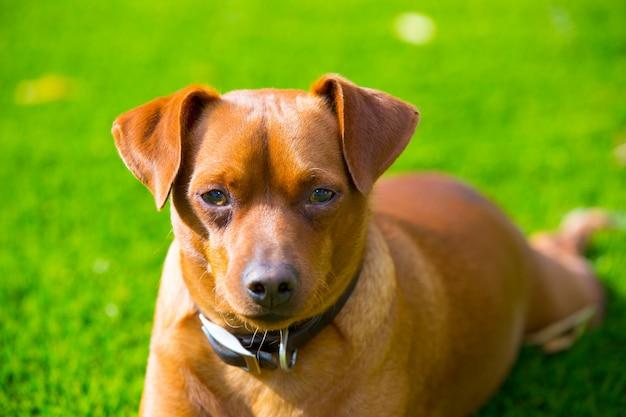 Braunes hundeporträt des mini pinscher, das in rasen legt