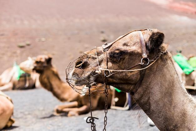 Braunes kamel an einem sonnigen tag in kanarischen inseln, lanzarote. warten auf touristen für eine fahrt
