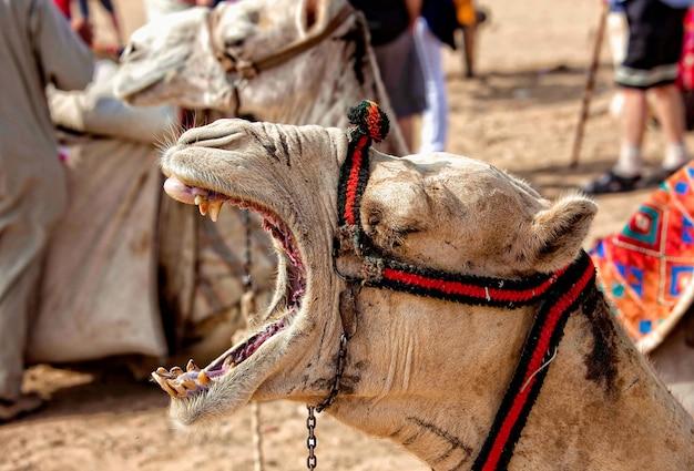 Braunes kamel hautnah