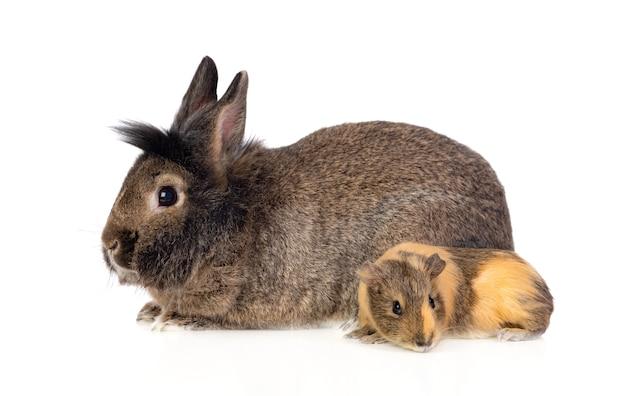 Braunes kaninchen und ein meerschweinchen isoliert auf weiß