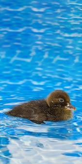 Braunes kleines süßes entlein im schwimmbad
