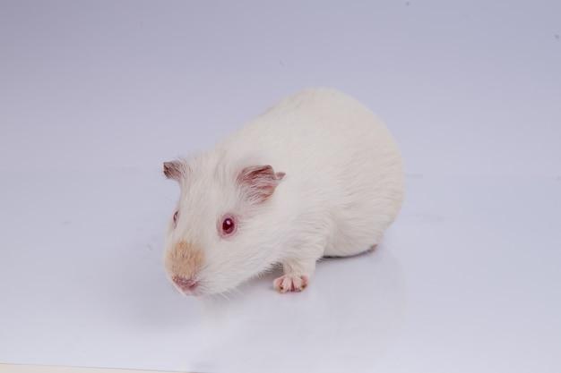 Braunes meerschweinchen auf weiß isoliert