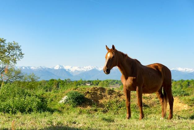 Braunes pferd auf der wiese, die pyrenäen im hintergrund