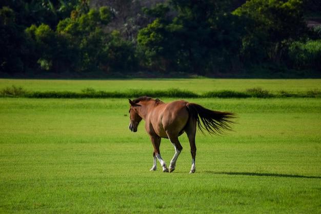 Braunes pferd, das auf der weide geht