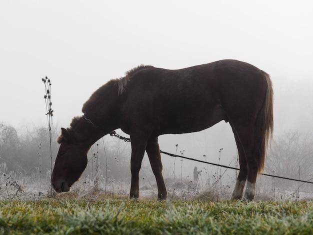 Braunes pferd im nebel, der gras isst