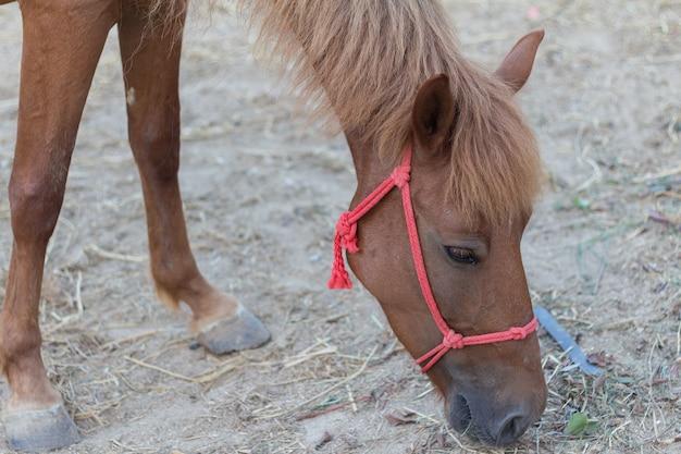 Braunes pferd pferd auf der koppel und beugte sich über trockenes gras