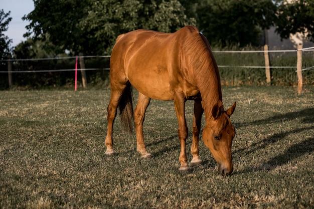 Braunes pferd weidet das gras auf der ranch am sommerabend bei sonnenuntergang. ruhe und gelassenheit.