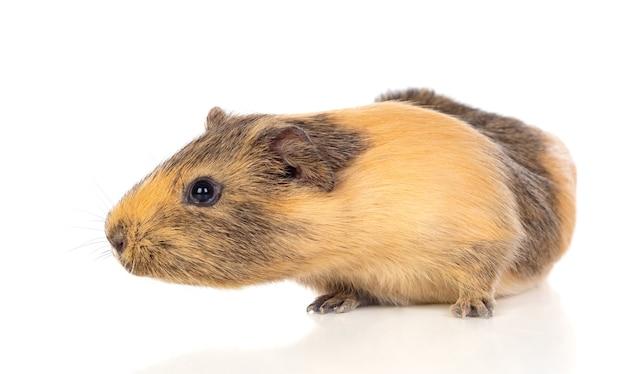 Braunes und gelbes meerschweinchen isoliert auf weiß