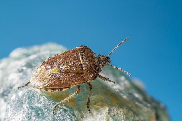Braunes und schwarzes insekt auf blauer oberfläche