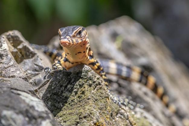 Braunes und schwarzes reptil auf grauem felsen