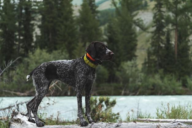 Breed dog drathaar im herbstwald
