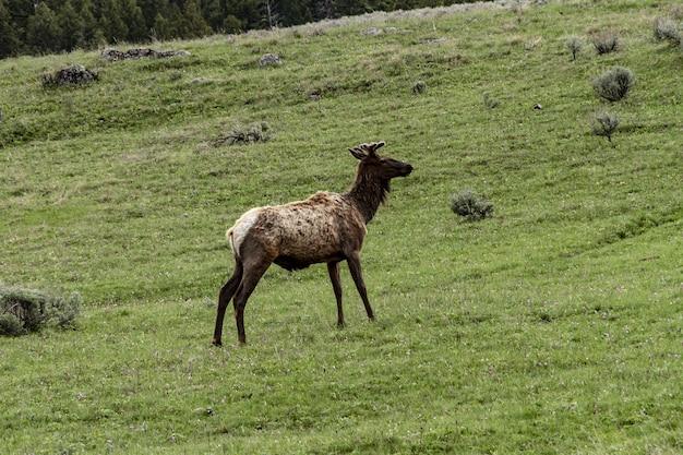 Breiter schuss eines elchs am yellowstone-nationalpark, der auf einer grünen wiese steht