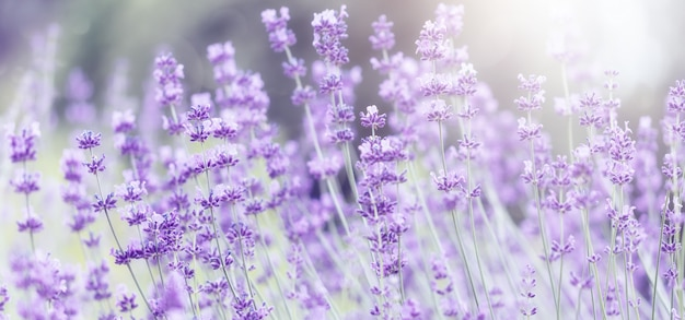 Breites feld des lavendels am sommermorgen