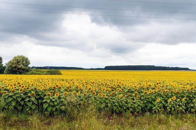 Breites gelbes feld von sonnenblumen. graue gewitterwolken. vor dem regen.