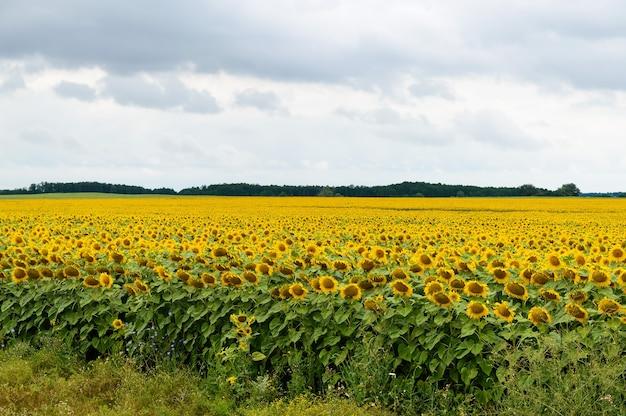 Breites gelbes feld von sonnenblumen.