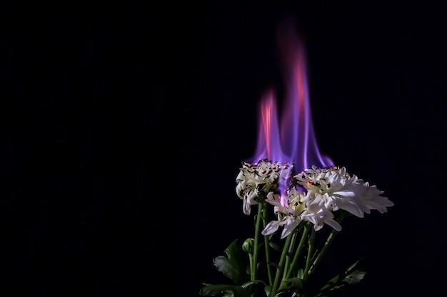 Brennende weiße chrysantheme in der blauen feuerflamme