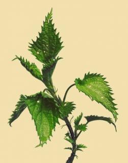 Brennessel grün