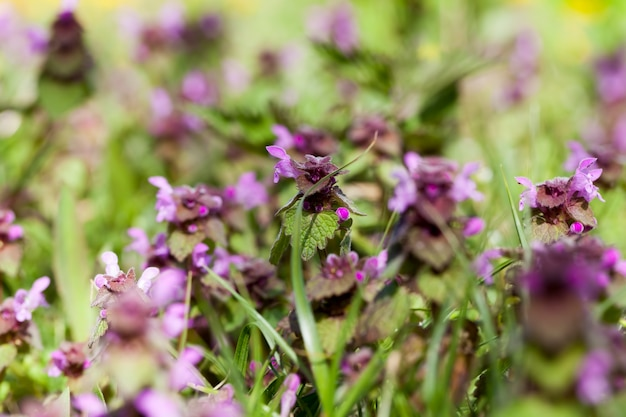 Brennnessel blüht in der frühlingssaison mit lila blüten, wilde brennnesselpflanzen unkraut aus nächster nähe