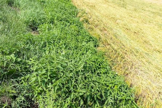 Brennnessel wächst neben einem landwirtschaftlichen feld mit weizen