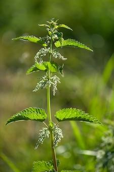 Brennnesselpflanze im freien über unscharfem grünem natürlichem hintergrund